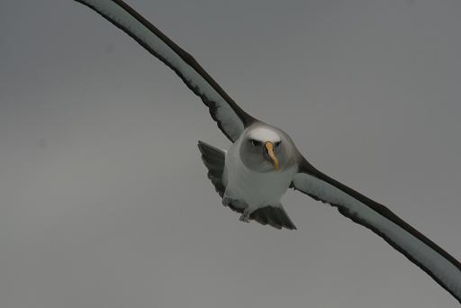 albatross klein